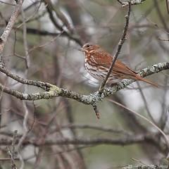 Fox Sparrow, Tide-Water-Farm (Bill Bunn) Tags: foxsparrow falmouth maine