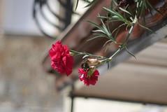 Blosom on the Balcony (tomymagl1) Tags: red carnation flower flowers blosom balcony olympus omd manualfocus russian lens adaptedlens vintage hellios prime old bockeh nature beauty jupiter8 jupiter 50mm