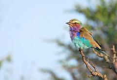 Rollier à longt brins (Tho41170) Tags: rollier rollierlongtsbrins coraciascaudatus lilacbreastedroller oiseau oiseaux afrique du sud south africa
