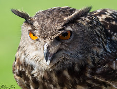 Uhu (Silu Junior) Tags: owl eule uhu kauz vogel bird jäger