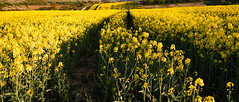 Rapeseed Field (Christopher Restall) Tags: rapeseed leadinglines landscape landscapephotography fields farmer golden crops goldencrops yellowcrops yellow wallpaper landscapewallpaper