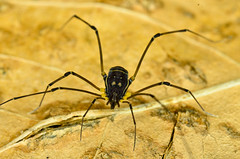 Opiliones, immature Cosmetidae (aracnologo) Tags: arachnida arachnid aracnídeo opiliones opilião harvestman harvestmen gonyleptoidea