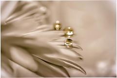 Friends of gold (puckie_macro_pictures) Tags: macrodreams flowerflowerflower flower dorp pearls macro macrodream gold