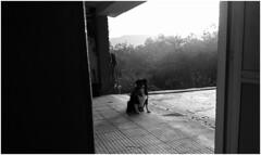 vilma_san tome de piñeiro_23_03_2017 (maxnemo) Tags: maxnemo perro chien dog perra femaledog bordercollie cadela can