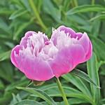 Toronto Ontario ~ Canada ~ Edwards Gardens ~ Botanical Garden    Peony thumbnail