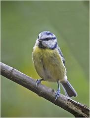 Bluetit (cconnor124) Tags: bluetits smallbirds gardenbirds backyardbirds blue green canon100400lens canon7dmk11