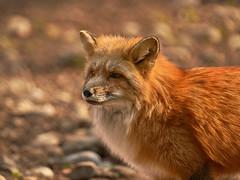 Nature can be so beautiful - young red fox - So schön kann die Natur sein - junger Rotfuchs (W_von_S) Tags: natur nature fuchs fox rotfuchs redfox animal tier säugetier wvons werner sony april 2017 licht light bokeh