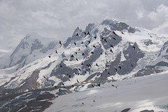 Alpine chough (AGrinberg) Tags: 2102248 alps birds chough switzerland