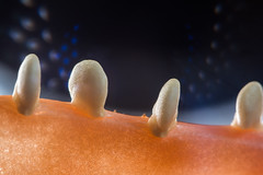 Teeth (Esther5h (On and Off)) Tags: memberschoiceseeds seeds seed bellpepper macro 60mm 21 macromondays paprika