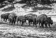 Migracion (Juan Pablo J.) Tags: sony animal tonikasd1116f28dx tamaron70200mm sp sonya68 zion buffalo