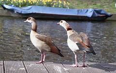 Wary two (Arne Kuilman) Tags: amsterdam nederland v600 scan film fuji superia minolta x500 analogue analoog kiron 105mm ganzen geese