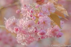 Bloesem (Chantal van Breugel) Tags: bloemen macro bloesem prunus bomen lente espel noordoostpolder flevoland april 2017 canon5dmark111 canon70300