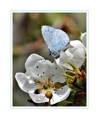 Di fiore in fiore - From flower to flower (Jambo Jambo) Tags: farfalla butterfly fiori flowers primavera spring nikond5000 jambojambo grosseto maremma maremmatoscana maremmacountryside toscana tuscany italia italy macro