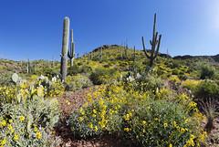 Desert Spring (BongoInc) Tags: sonorandesert desertflora superior arizona cactus spring