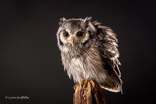 Southern White-faced Owl D75_5741.jpg