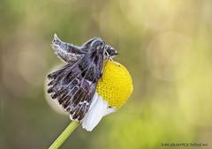 Ejercicios acrobáticos. (raulgranados) Tags: mariposa flor macro naturaleza bokeh luz posturas guay