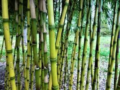 Bamboo Barrier! (springblossom3) Tags: plant bamboo nature macro batsford arboretum