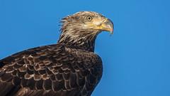 American Bald Eagle (nickinthegarden) Tags: americanbaldeagle pointrobertswashingtonusa