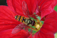 IMG_1102n (wim_z) Tags: episyrphusbalteatus closeup canonef100mmf28lisusm 70d hoverfly insect macro