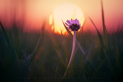 Hopefully (matthiasstiefel) Tags: daisy gänseblümchen sundown dusk sunscreen sonnenscheibe gegenlicht backlight hope hopefully warm feelings gefühle gefühl feeling bavaria germany bayern deutschland aub obergine spring frühling bokeh dof depthoffield sonnenuntergang hyperbeast10