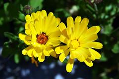 Siblings (Pensive glance) Tags: flower fleur plant plante