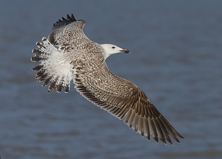 Great Black-backed Gull ~ 1st. S ~ Larus marinus