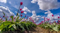 Tulips and Clouds (dschultz742) Tags: 04142017 clouds d810 flower nikon nikonsigma sigma sky tulip outdoor vanishingpoint convergentlines perspective
