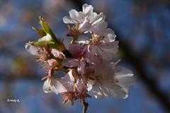 Full of anticipation :-) (heikecita) Tags: nature natur kirschblüte cherry blossom frühling spring nikon buckow nikond7200 märkischeschweiz blüte rosa pink