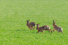 Springtime Bunnies! (P & Y Photography) Tags: nature animal rabbit bunny easter springtime spring green wild run jump field canon 6d 100400