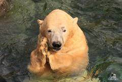 Erlebniszoo Hannver 15.04.2017 104 (Fruehlingsstern) Tags: eisbären polarbear sprinter melana elefanten seelöwen weiskopfseeadler yukonbay erlebniszoohannover hannover canoneos750 tamron16300 zoo