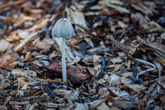Mushroom 14 (betta design) Tags: mushroom centennialpark canon sydney australia green seta cogumelo wet moisture