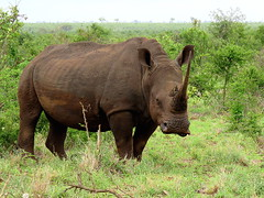 Wit renoster / White rhinoceros (Bruwer Burger.) Tags: wit renoster white rhinoceros