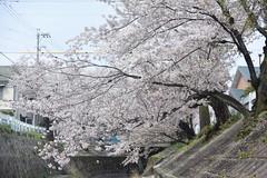 cherryb17259 (tanayan) Tags: cherry blossoms sakura flower nikon v3 aichi nagoya japan 愛知 名古屋 日本 山崎川 桜 さくら yamazaki river cityscape