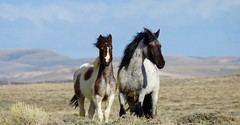 Wanderers (prairiegirrl) Tags: wildhorses crooksmountain hma wyoming wildplaces