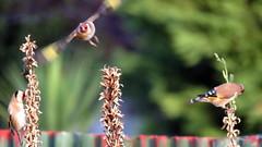 Finch(es) in April -008 (JayVeeAre (JvR)) Tags: ©2017johannesvanrooy bird birdfeeding birds birdsfeeding finch johannesvanrooy johnvanrooy gimp28 picasa3 httpwwwflickrcomphotosjayveeare johnvanrooygmailcom gimpuser gimpforphotography canonpowershotsx60hs wildflowerseeds wildflowers