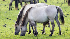 Oostvaardersplassen (Hans van der Boom) Tags: nederland netherlands ijsselmeerpolders flevopolder oostvaarderplassen animal horses wild herd konik horse lelystad nl