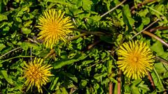 Dandelion (JOHN BRACE) Tags: taraxacum common dandelion seen horley station it is over 140 types uk