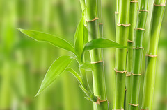 bamboo (tigercop2k3) Tags: life white plant tree green nature ecology garden botanical leaf stem branch pattern close natural gardening background border decoration culture ukraine bamboo east growth jungle luck lucky tropical environment serene shoots lush stalk isolated freshness isolate cultivated