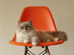 Kuranosuke (rampx) Tags: orange cat chair pentax neko  ragdoll  kuranosuke miaw 645z