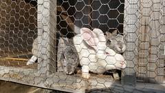 (Tylertello) Tags: rabbit bunny bunnies japan farm aomori rabbits