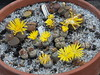 DSCF0401 (BobTravels) Tags: plant stone bob lithops lithop messem bobwitney