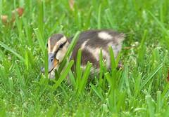 Baby Mallard  hiding in the grass (2.5 weeks old) (GoodwinGirl) Tags: nature duck nikon texas mallard naturelover babyduck the~wonders~of~nature