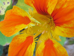 Orange and Yellow Flower Petals (shaire productions) Tags: flowers plants detail macro green nature floral beauty leaves garden outdoors photo colorful image picture petal growth photograph vegetation