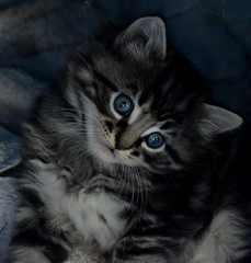 Kitten (Adventurer Dustin Holmes) Tags: pet pets cute animal animals cat kitten feline adorable domesticcat 2014 domestickitten domestickittens