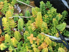Honckenya peploides (Sea sandwort) (S. Rae) Tags: gullane sandwort caryophyllaceae peploides honckenya halophile