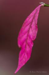 Rose Posie (Sous l'Oeil de Sylvie) Tags: pink macro fall nature rose automne october pentax bokeh qubec octobre feuille pdc beauce tamron90mm 2014 dtails feuillage k30 nervures arbustre arboretumstgeorges sousloeildesylvie