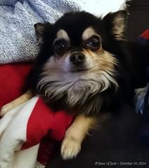 A face of fear... (Papa Razzi1) Tags: dog chihuahua teeth fear brushing caughtoffguard moltas