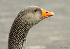 Someone's Ruffled My Feathers (JaseMac Images) Tags: canon geese wildlife feathers headshot goose stanleypark plumage greylag wildbirds greylaggoose feathering canon70200mmf4l canon7d lakelandbirds
