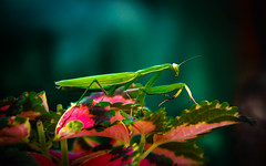 Praying Mantis (http://fineartamerica.com/profiles/robert-bales.ht) Tags: pet brown animal animals wow mantis insect photo colorful superb awesome fineart scenic surreal peaceful idaho camouflage grasshopper inspirational spiritual sublime magical vignette carnivorous tranquil emmett magnificent inspiring prayingmantis haybales stupendous thorax predatory abdomen flyinginsect compoundeyes mantisreligiosa mantidae cannibalistic canonshooter insectphotography simpleeyes winginsect robertbales stickinsectsgreen triangularheads