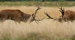 Red Deer Rut Oct '14 (ade_wondersofwildlife) Tags: mist mammal fight antlers beast